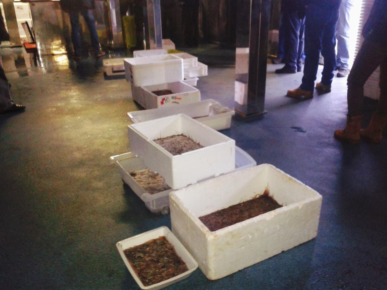 Ribadesella supera la tonelada de angula con los 344 kilos subastados en enero
