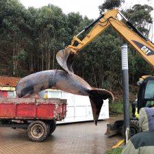 Comienzan a trocear la ballena varada en el Arenal de Morís de Caravia
