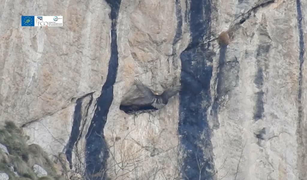 La pareja de Quebrantahuesos de los Picos de Europa inicia un nuevo proceso de incubación