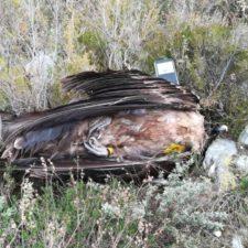 La Guardia Civil investiga la muerte de un Quebrantahuesos en el Parque Nacional de los Picos de Europa