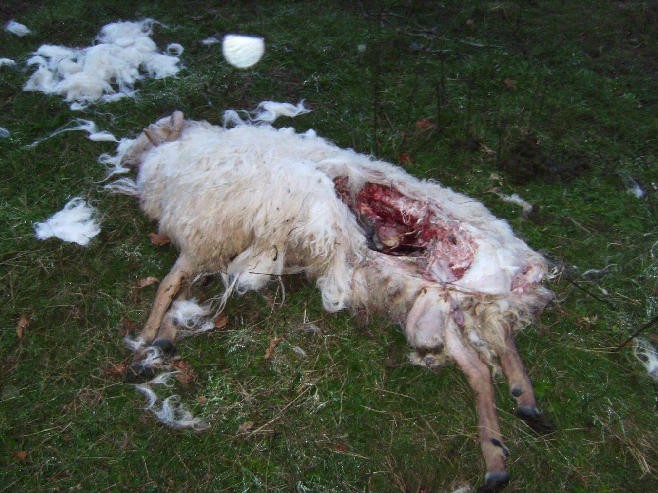 El lobo mató 3.317 cabezas de ganado el año pasado en Asturias