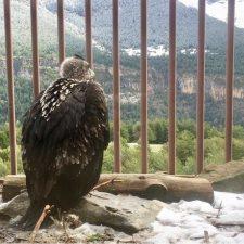 El 20 de mayo llegarán los dos primeros Quebrantahuesos de los siete que se soltarán este año en Picos de Europa
