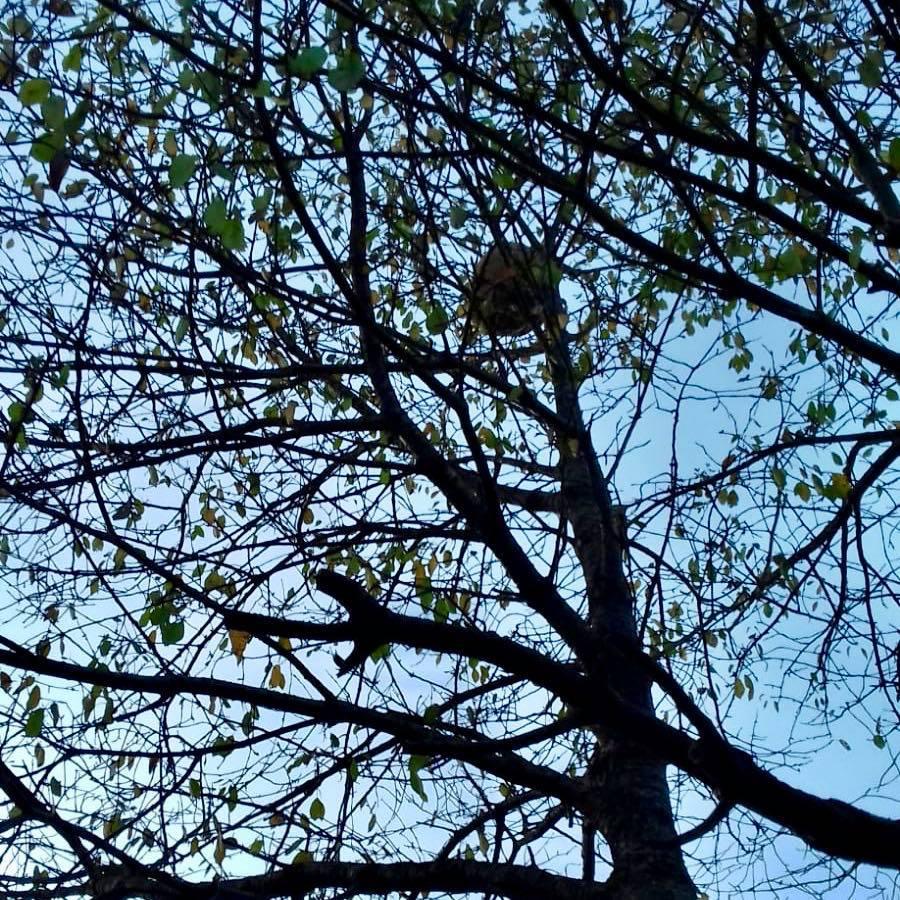 Un avispero asiático pone en alerta a los habitantes de Collera (Ribadesella)