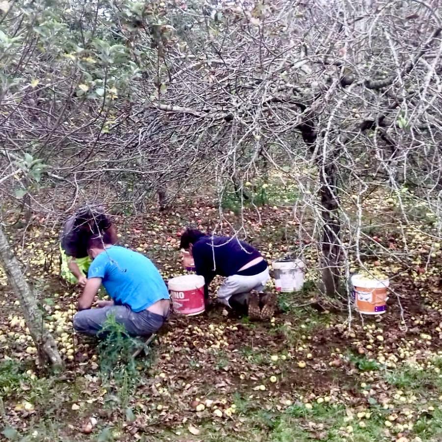 Ribadesella también inicia su particular cosecha de manzana de sidra