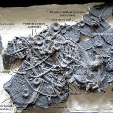 Los científicos del MUJA encuentran los restos de un dinosaurio marino en la playa de Vega (Ribadesella)