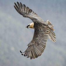 Nacen otros cinco quebrantahuesos en Aragón que serán liberados en el Parque Nacional de los Picos de Europa