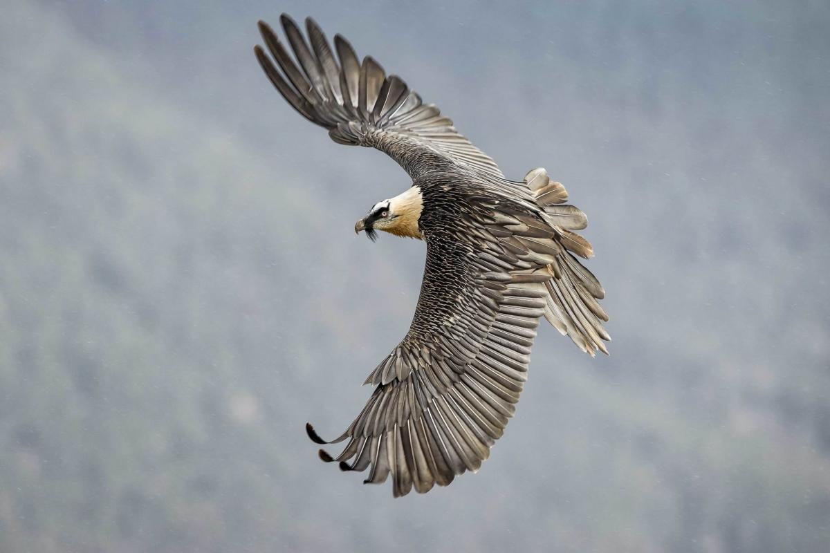 Cares, un Quebrantahuesos de altos vuelos en los Picos de Europa