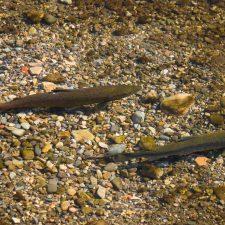 Los ecologistas piden prohibir la pesca con muerte y la repoblación de salmones y truchas