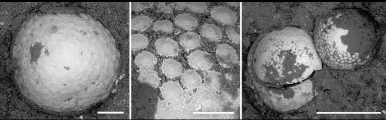 Ribadesella presume de huevos, únicos en la Península Ibérica