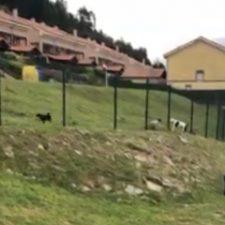 Perros peligrosos sueltos en Ribadesella y juicio por la muerte de un perro en Piloña