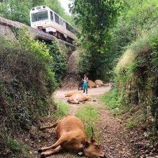 Un tren descarrila en Llanes tras arrollar a un grupo de vacas que ocupaban la vía férrea