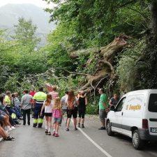 La caída de una enorme castañal mantuvo cortada durante dos horas la carretera AS-264 Arenas-Sotres (Cabrales)