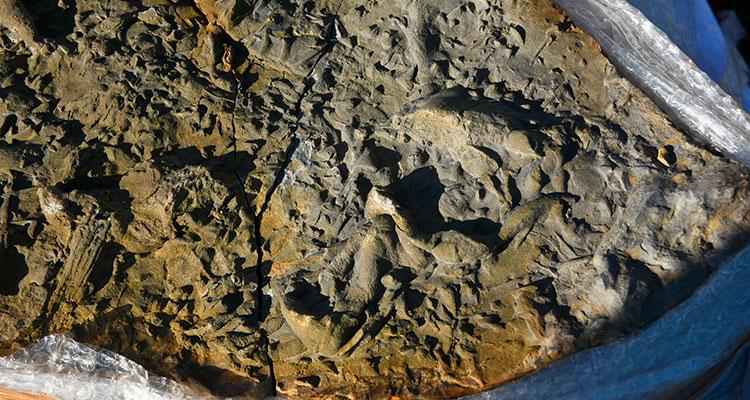 Recuperadas con éxito las huellas de Pterosaurios (reptiles voladores) en Tazones