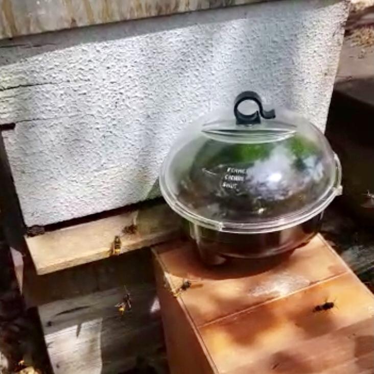 Un vecino de Camangu (Ribadesella) mata mil avispas en tres días con sus trampas