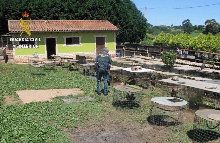 Investigan a 17 personas por peleas clandestinas de gallos, algunas de ellas de Cangas de Onís, Llanes y Piloña