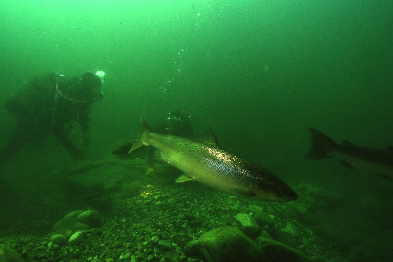 Alertan sobre la proliferación de depredadores marinos en el río Sella que atacan salmones, esguines y truchas