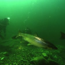 Foro Asturias pide actuar contra el furtivismo estival que sufren los salmones en los ríos asturianos