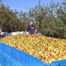 Ribadesella comienza la recogida de la manzana de sidra en una cosecha que se promete excelente