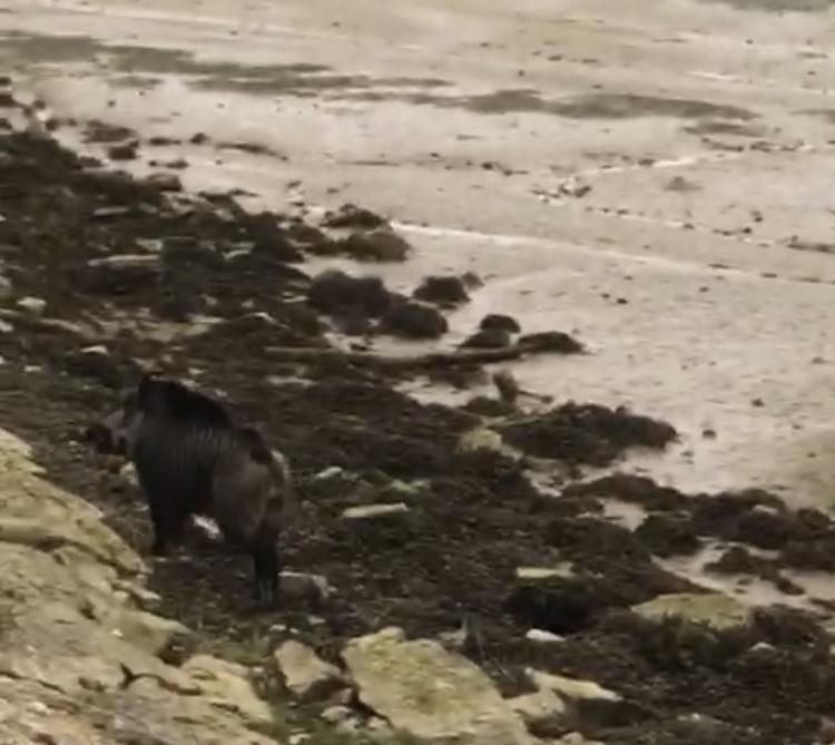 Una jabalí se pasea por la ría del Sella a la altura del Cobayu, en Ribadesella