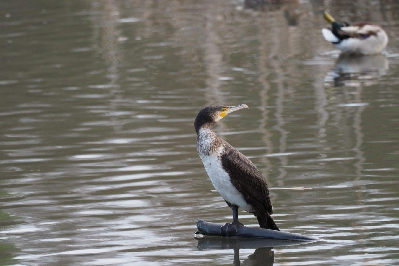 El Principado extraerá 30 cormoranes en el Sella y 20 en los ríos Cares, Deva y Bedón