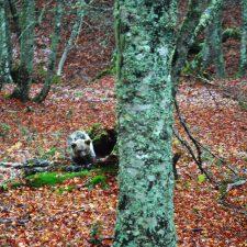 Los Ecologistas cuestionan el lugar elegido para liberar a la osezna Saba a merced del crudo invierno