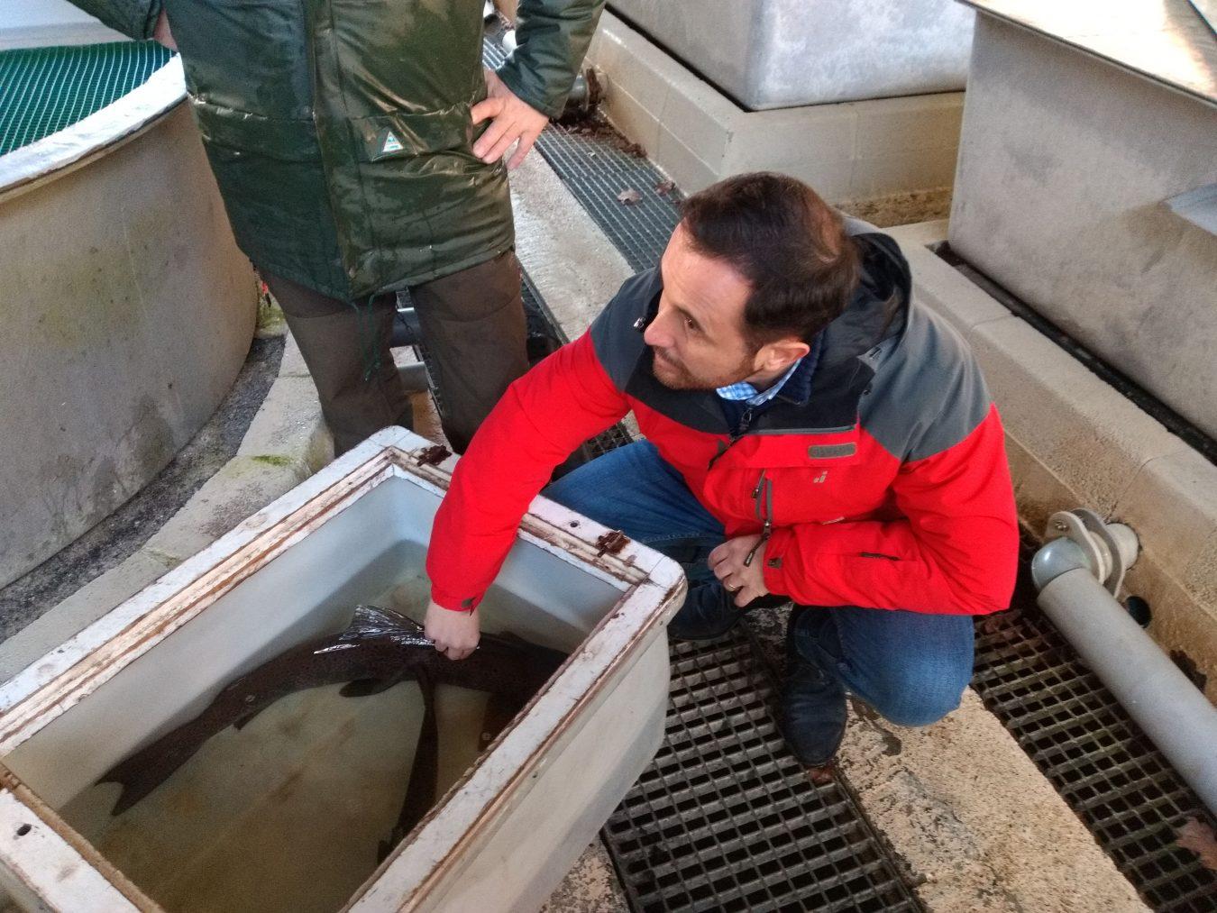 Salmones de Asturias, de la piscifactoría de Avalle, repoblarán los ríos de la vecina Cantabria