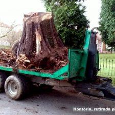 Retirados un enorme pino caído en un camino de Hontoria y un argayu en Vibañu