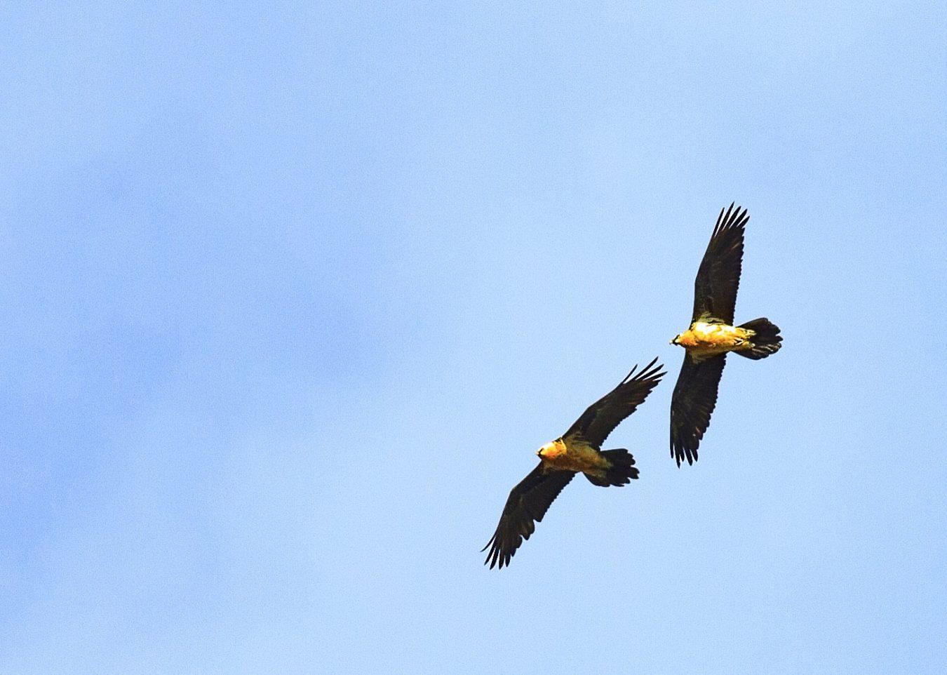 Los quebrantahuesos Guadalupe y Resalao ya vuelan libres en los Picos de Europa