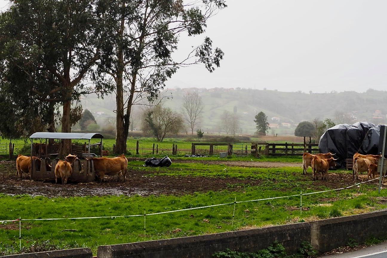 Crean una web para que los ganaderos asturianos puedan vender sus vacas por internet mientras se prolongue el Estado de Alarma