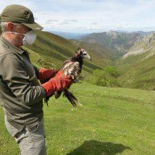 Liberado el pollo de alimoche rescatado en Llanes hace nueve meses