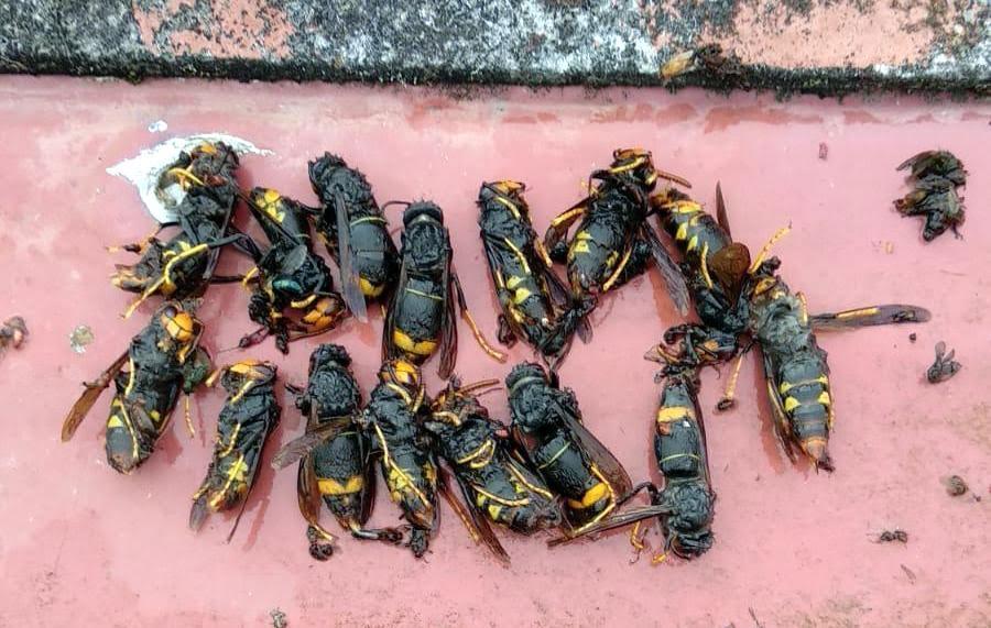 La campaña primaveral contra la avispa asiática en el concejo de Llanes se cierra con 17.900 reinas capturadas
