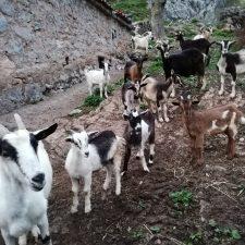 Cabras y ovejas geolocalizadas en el Parque Nacional de los Picos de Europa