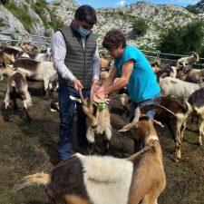 Los primeros rebaños geolocalizados con GPS ya pastan en la majada de Gumartini de los Picos de Europa