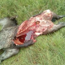 Denuncian nuevos ataques del lobo en rebaños del entorno de Cuñaba, en Peñamellera Baja
