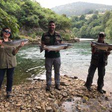 Logran otro cupo de salmones en el río Cares mientras el Sella se resiste a entregar mas peces