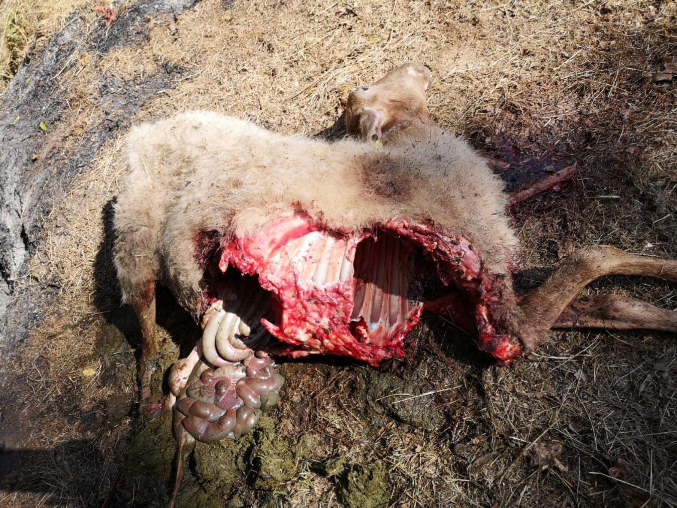 El lobo mata otras cinco ovejas en Cangas de Arriba, a 300 metros de viviendas habitadas