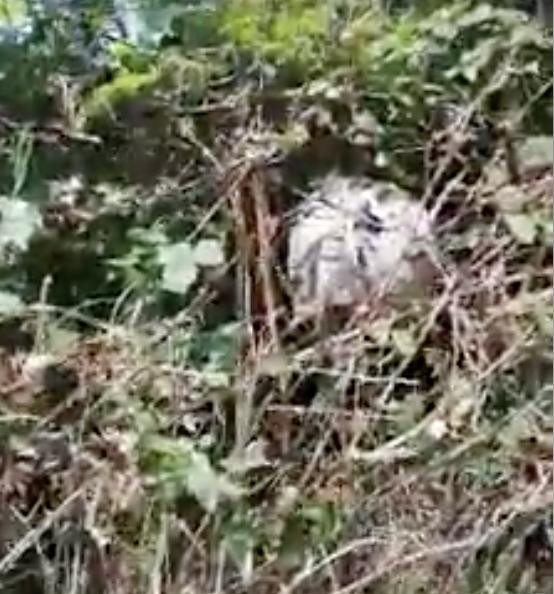 Ribadesella alerta sobre la presencia de nidos de avispa asiática en tierra, muros y arbustos