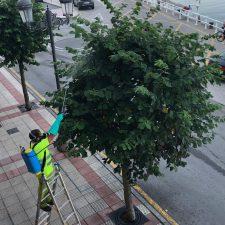 Una plaga de mosca blanca amenaza la integridad de los árboles ornamentales de la villa de Ribadesella