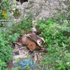 La Guardia Civil investiga a dos vecinos de Llanes por presunto maltrato y abandono animal en Poo y Pancar
