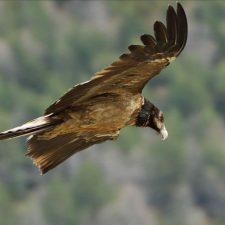 El primer Quebrantahuesos nacido en los Picos de Europa se llama Bienvenida y ha empezado a volar