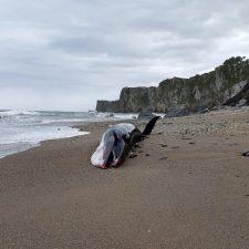 Un rorcual queda varado y muere en la riosellana playa de Arra