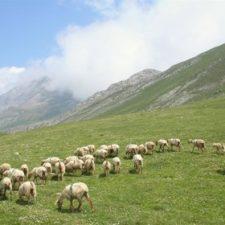 La marca lechazo de los Picos de Europa espera comercializar 12.000 kilos de carne este año
