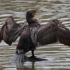 El Principado autoriza la caza de 30 cormoranes grandes en el río Sella y otros 20 en el Cares, Deva y Bedón