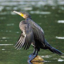 El Principado suspende la autorización de este año para el control de cormoranes en los ríos asturianos