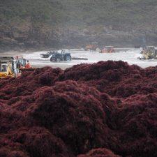 Proponen desarrollar un proyecto de acuicultura basado en el cultivo del ocle en el oriente de Asturias