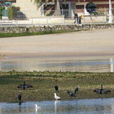 Da comienzo el censo invernal de aves en las rías de Ribadesella y Tina Mayor