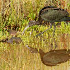 Avistado un Morito común en la ría de Ribadesella durante el censo invernal de aves acuáticas