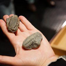 El MUJA de Colunga suma a su colección la actividad fosilizada de un artrópodo marino que vivió en Asturias hace 390 millones de años