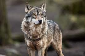 El lobo mató 349 animales en los Picos de Europa a lo largo de 2019