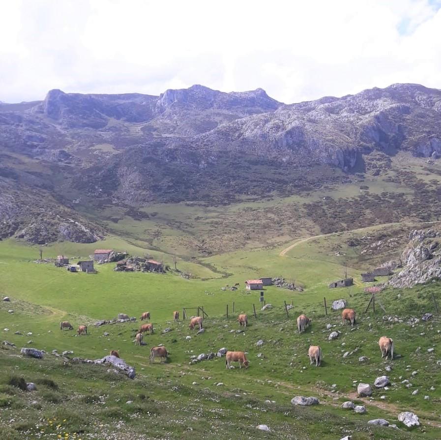 El ganado vacuno regresa a los puertos altos de Onís y Cangas de Onís